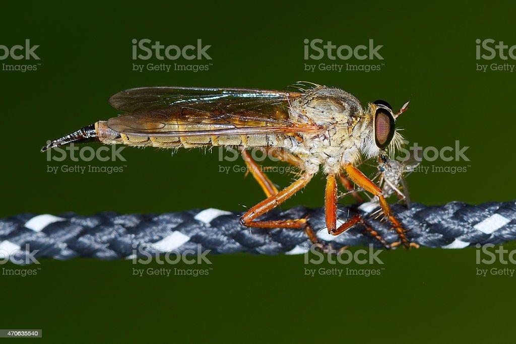 pale giant horse-fly outdoor (tabanus bovinus) stock photo