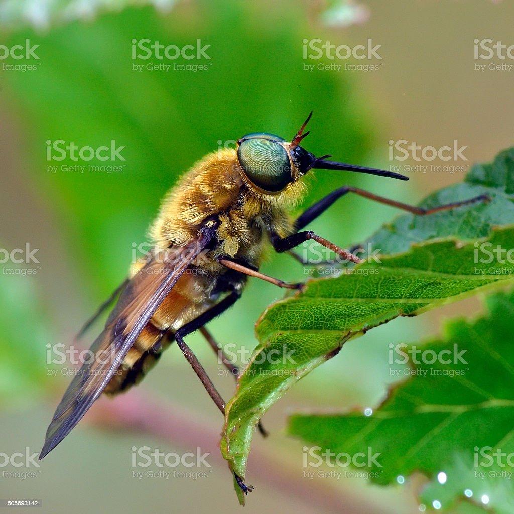 pale giant horse-fly (tabanus bovinus) stock photo