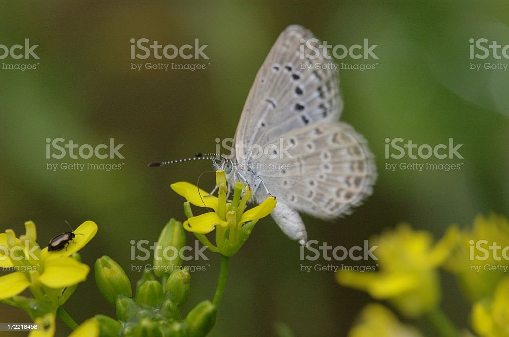 Pale Grass Blue (Pseudozizeeria maha) in Hong Kong stock photo