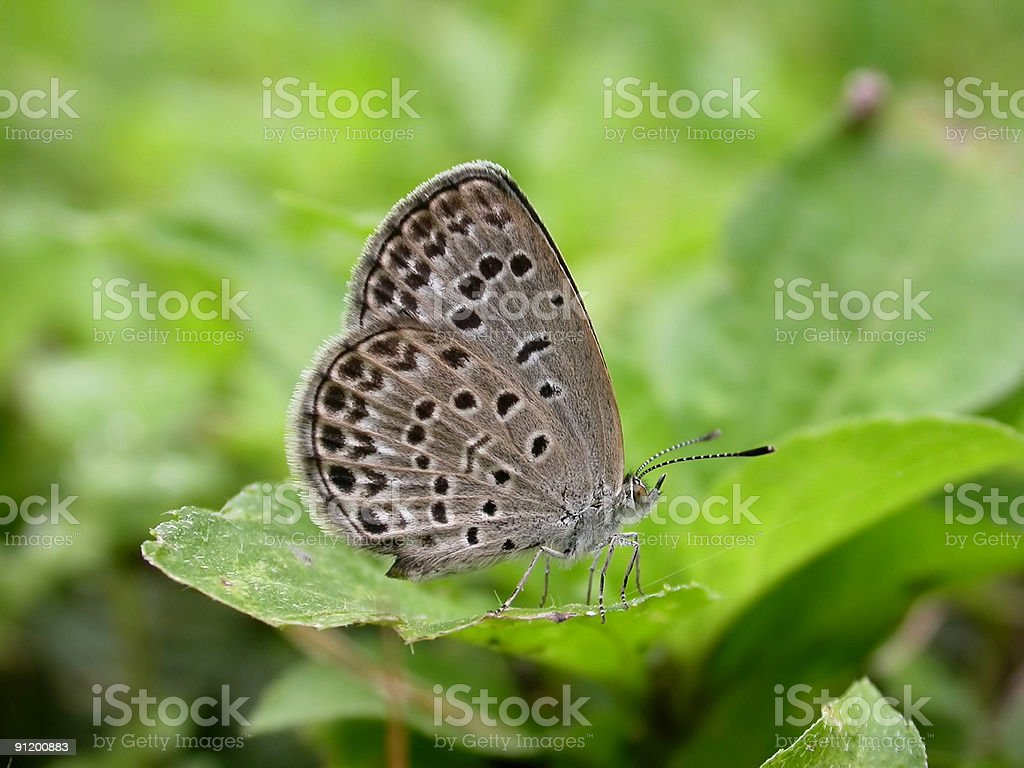 Pale Grass Blue  (Zizeeria maha) royalty-free stock photo