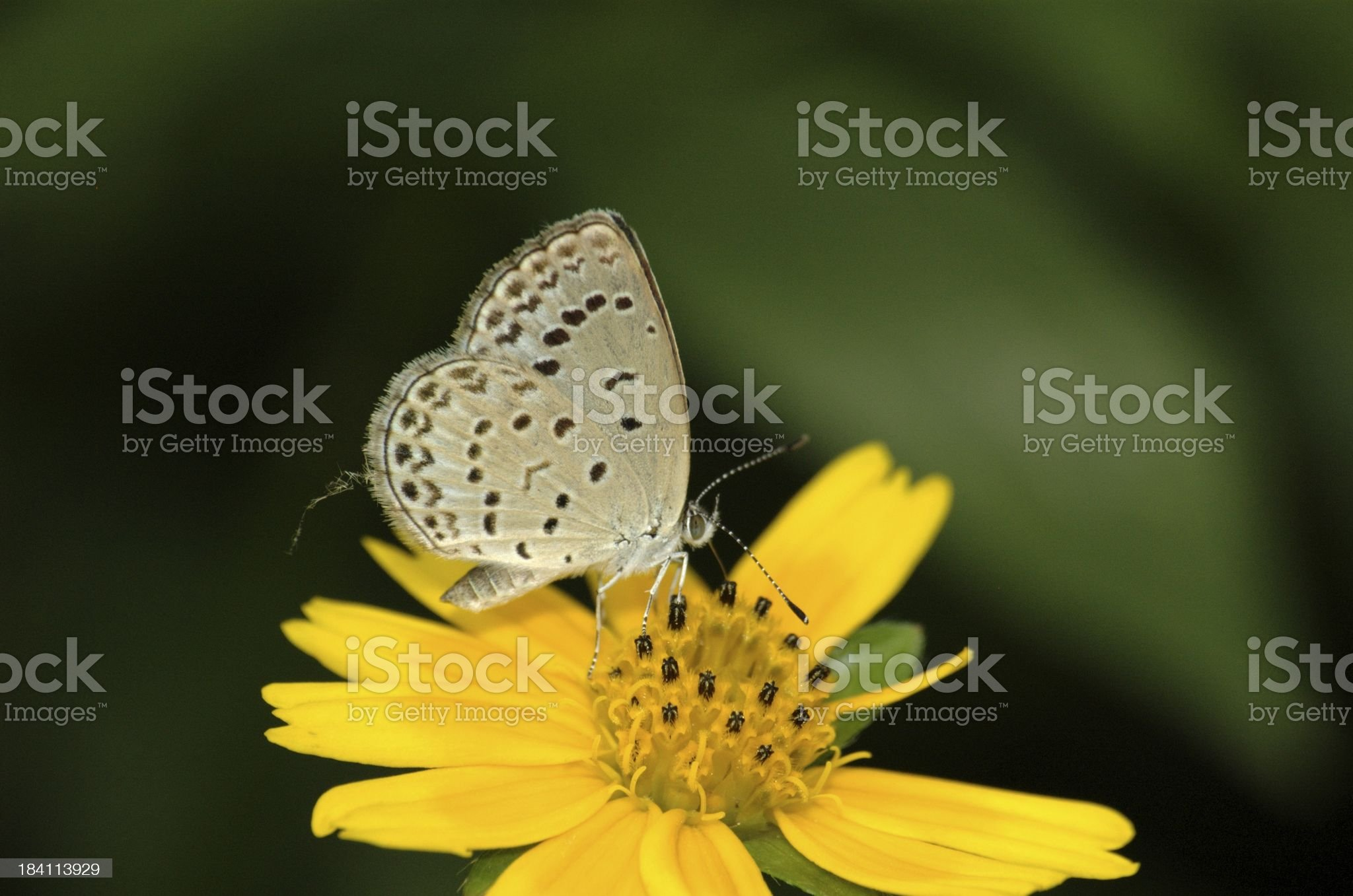 Pale Grass Blue - Zizeeria maha (Chinese butterfly ) royalty-free stock photo