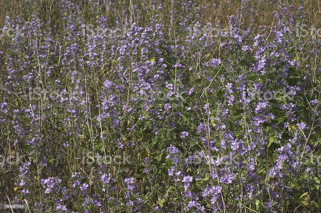 Common mallow field of pale lilac stock photo