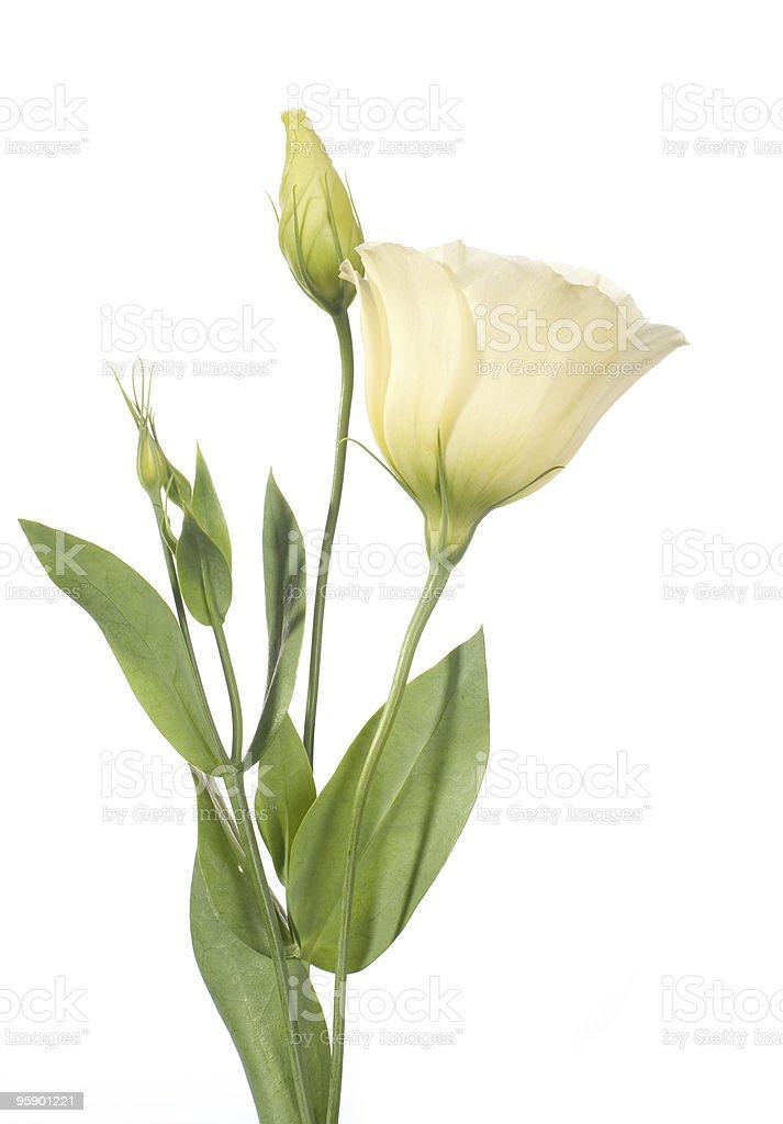 pale lisianthus flowers stock photo