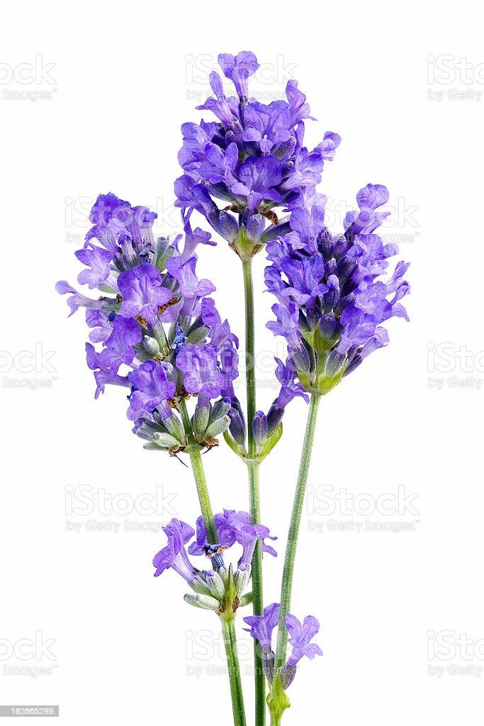 Pale mauve lavender royalty-free stock photo