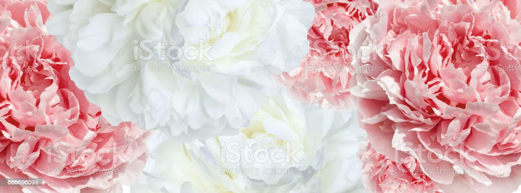 pale pink  and white peonies stock photo