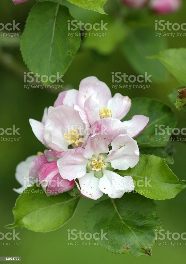 Pale pink apple blossom with green leaves royalty-free stock photo