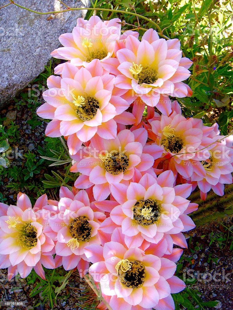 Pale Pink Cactus Flowers in Tucson stock photo