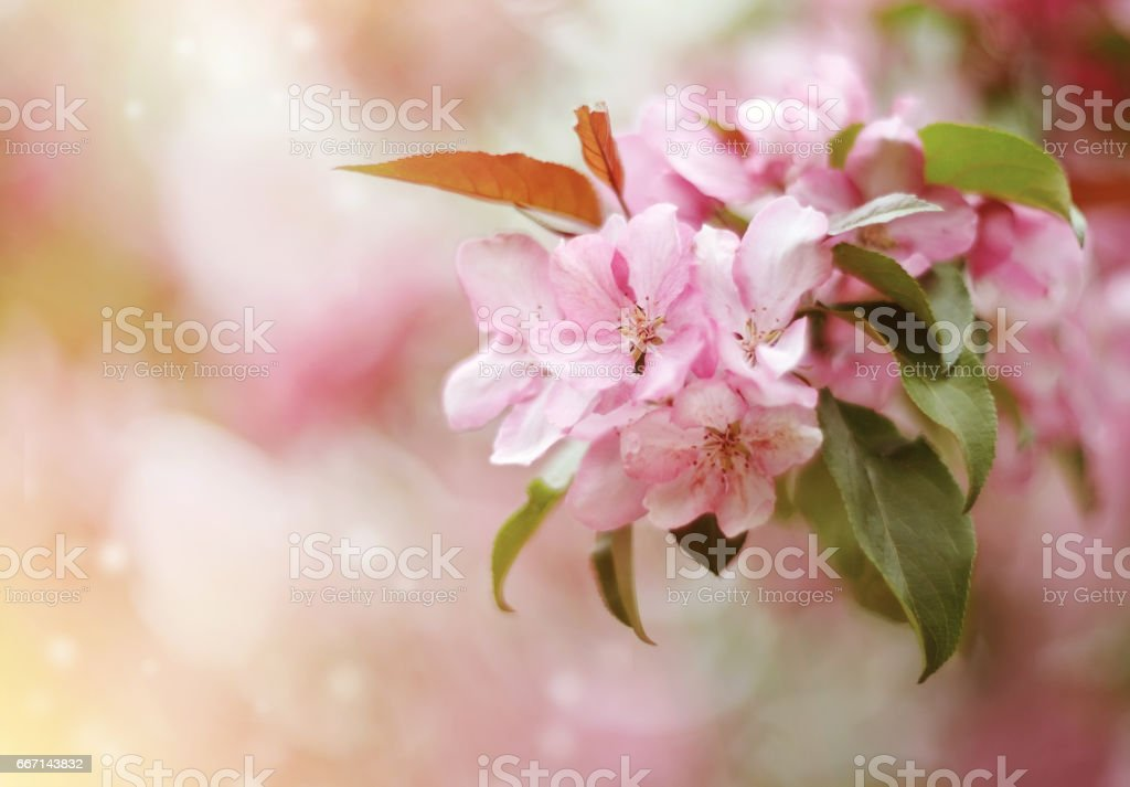 Pale pink flowers of Apple stock photo