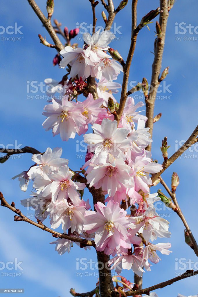 Pink cherry blossom Prunus subhirtella autumnalis 'Rosea' stock photo