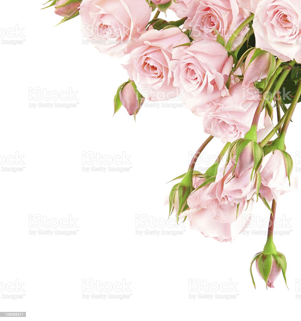 Pale pink fresh roses and buds on white background stock photo