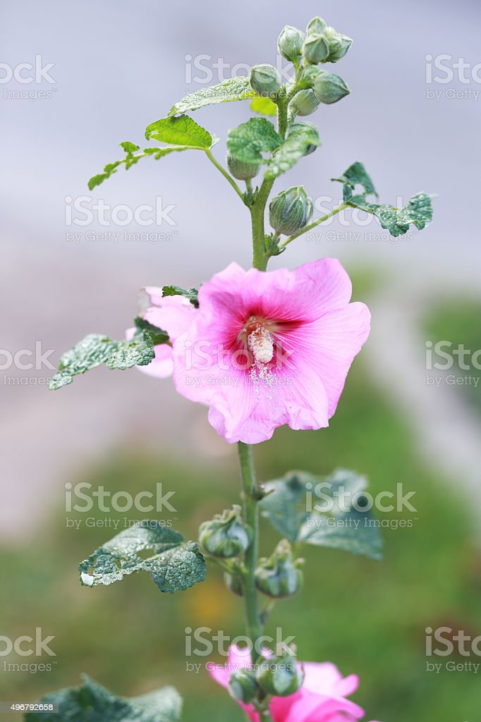 pale pink hollyhock stock photo