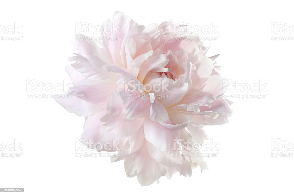 pale pink peony varieties 'Jubilee' isolated on white background stock photo