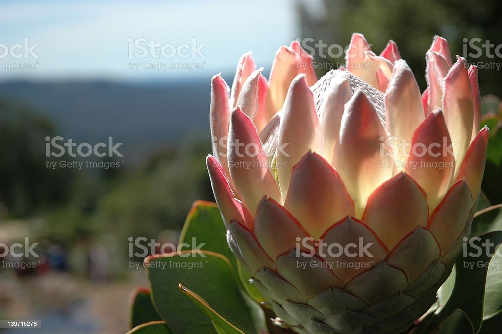 Pale pink protea at Mount Tomah stock photo