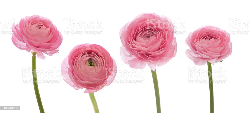 pale pink ranunculus stock photo