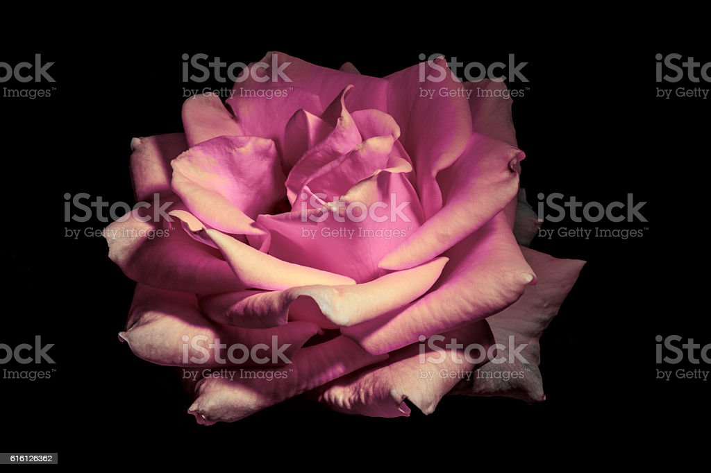 Pale Pink Rose stock photo