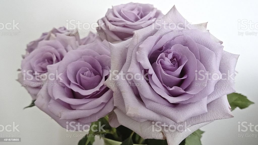 Pale pink roses on a white background royalty-free stock photo