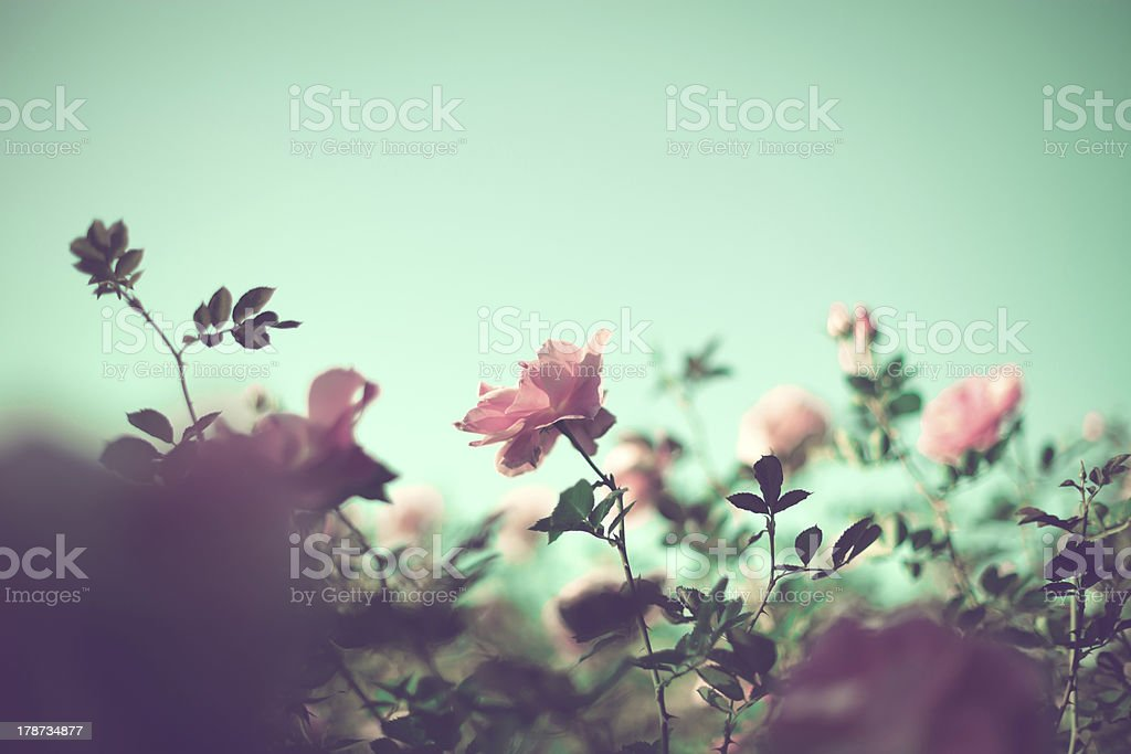 Pale pink roses stock photo