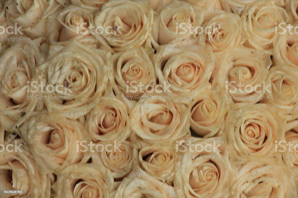 Pale pink wedding roses stock photo