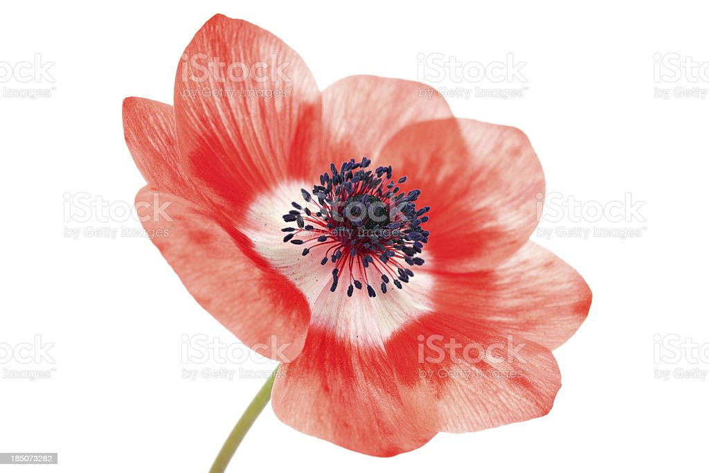 pale red poppy on white royalty-free stock photo