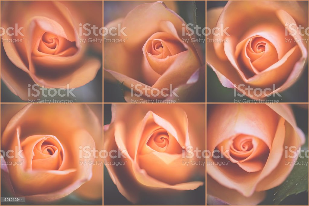 Pale roses stock photo