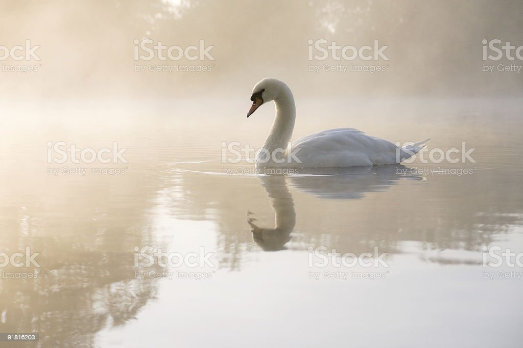 Pale swan stock photo