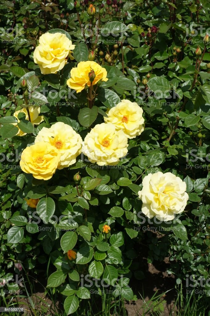 Pale yellow flowers and glossy leaves of garden rose stock photo