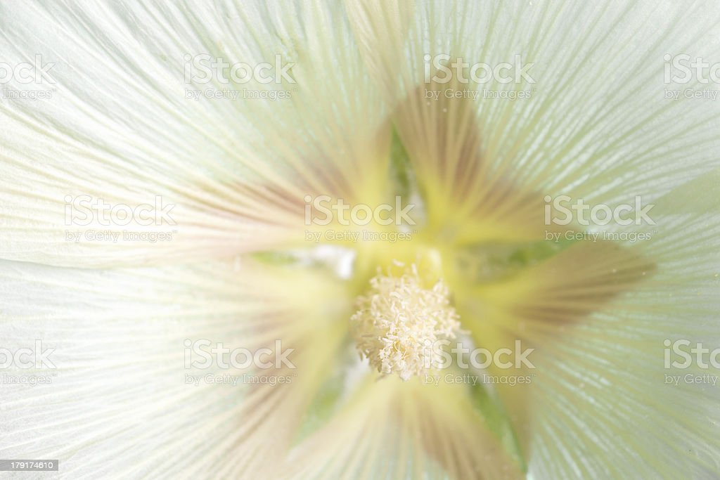 Pale yellow hollyhock, full frame. royalty-free stock photo