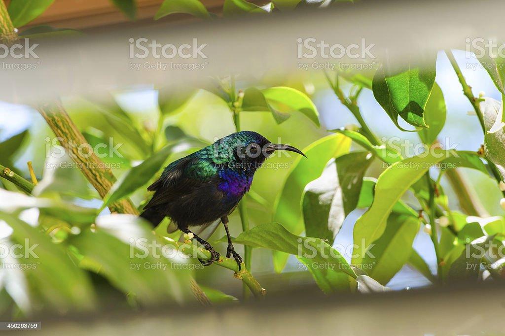 Palestine sunbird outside the window stock photo