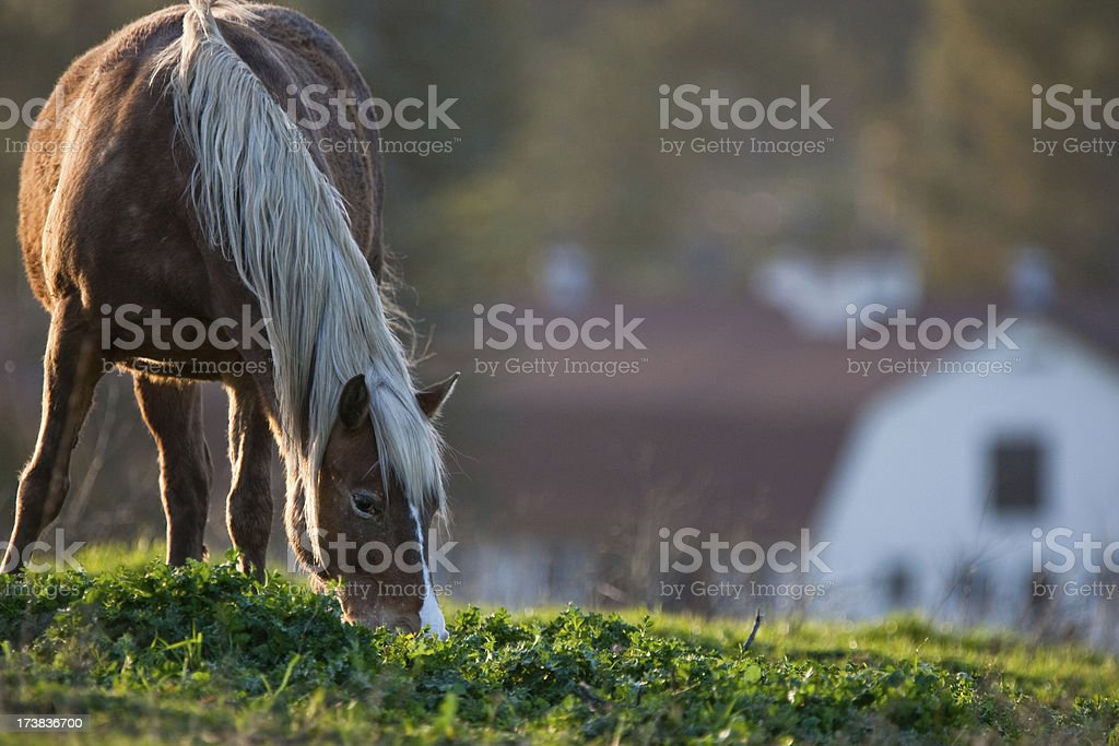 Palimino Grazing by a Barn royalty-free stock photo