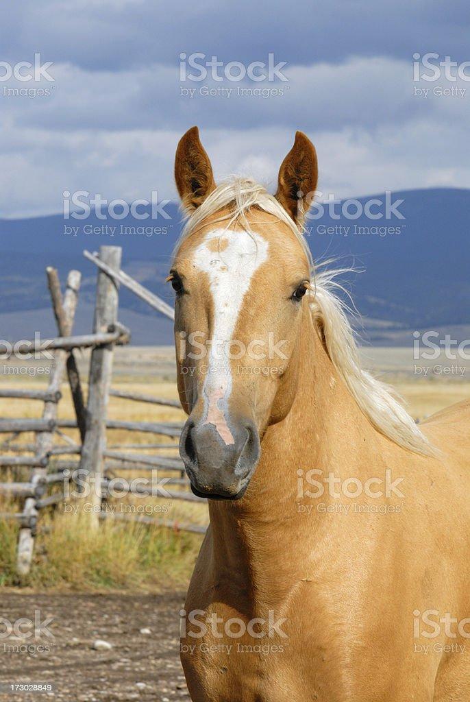 Palimino Horse royalty-free stock photo