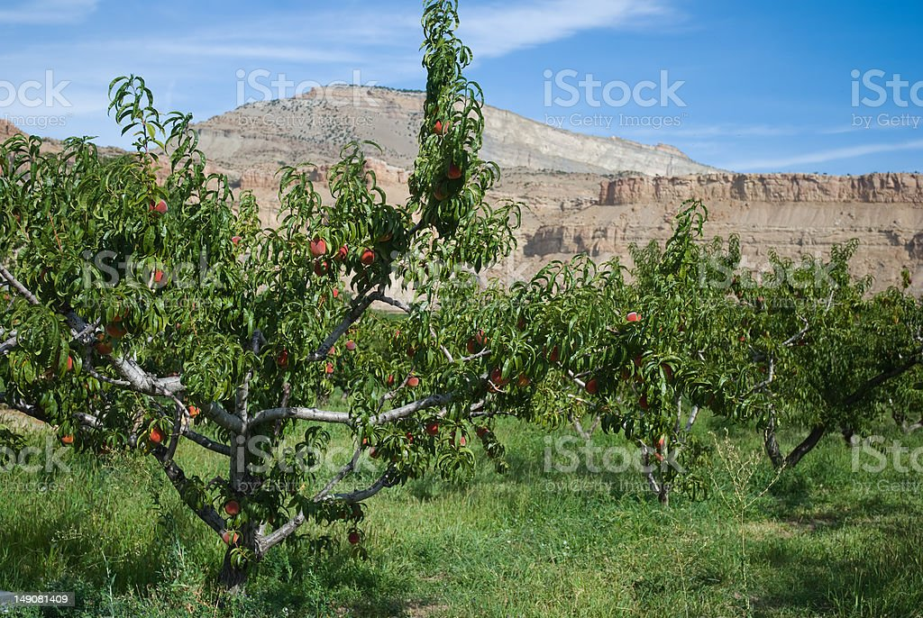 Palisade Peaches royalty-free stock photo