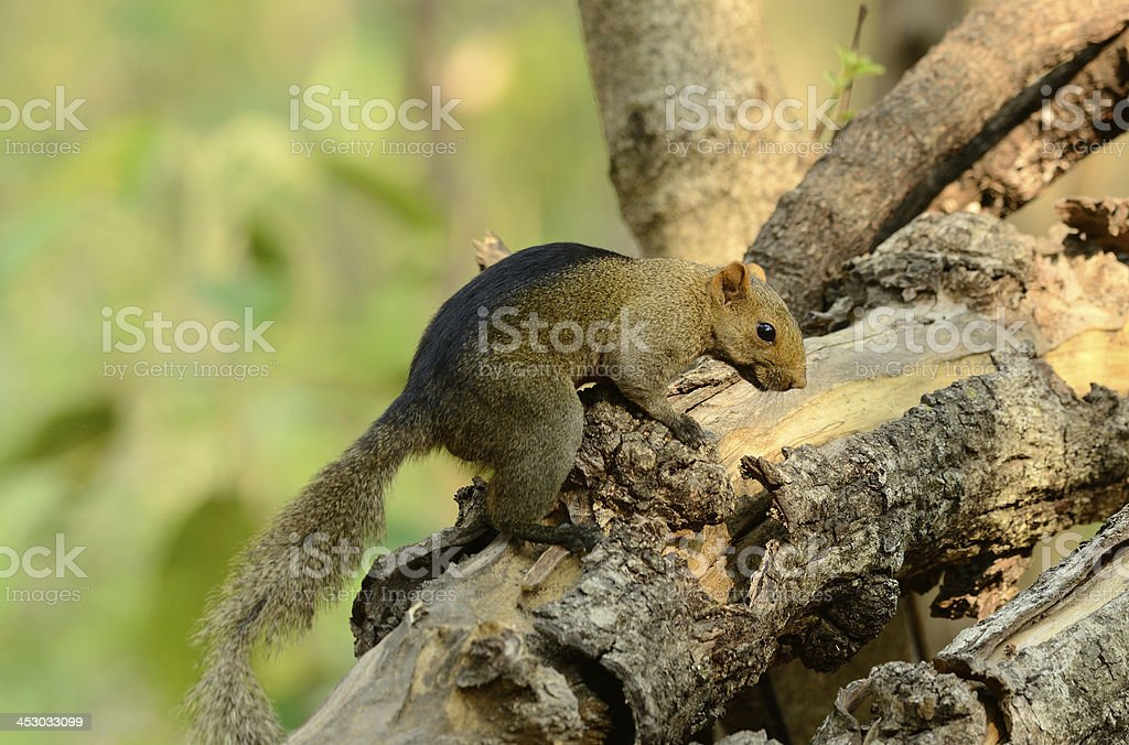 Palla's Squirrel (Callosciurus erythraeus) royalty-free stock photo