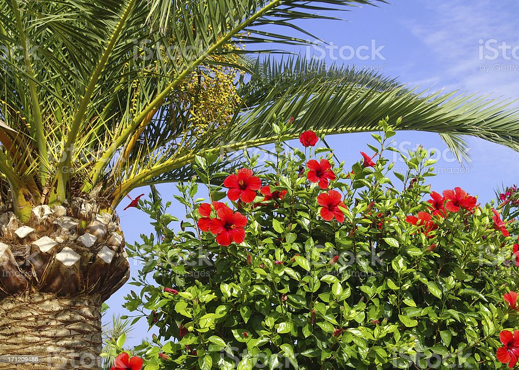 Palm and hibiscus royalty-free stock photo