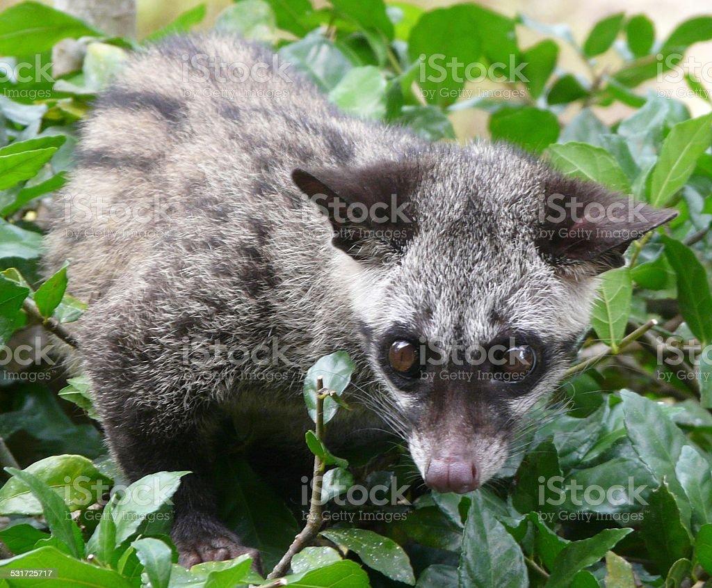 Palm Civet stock photo
