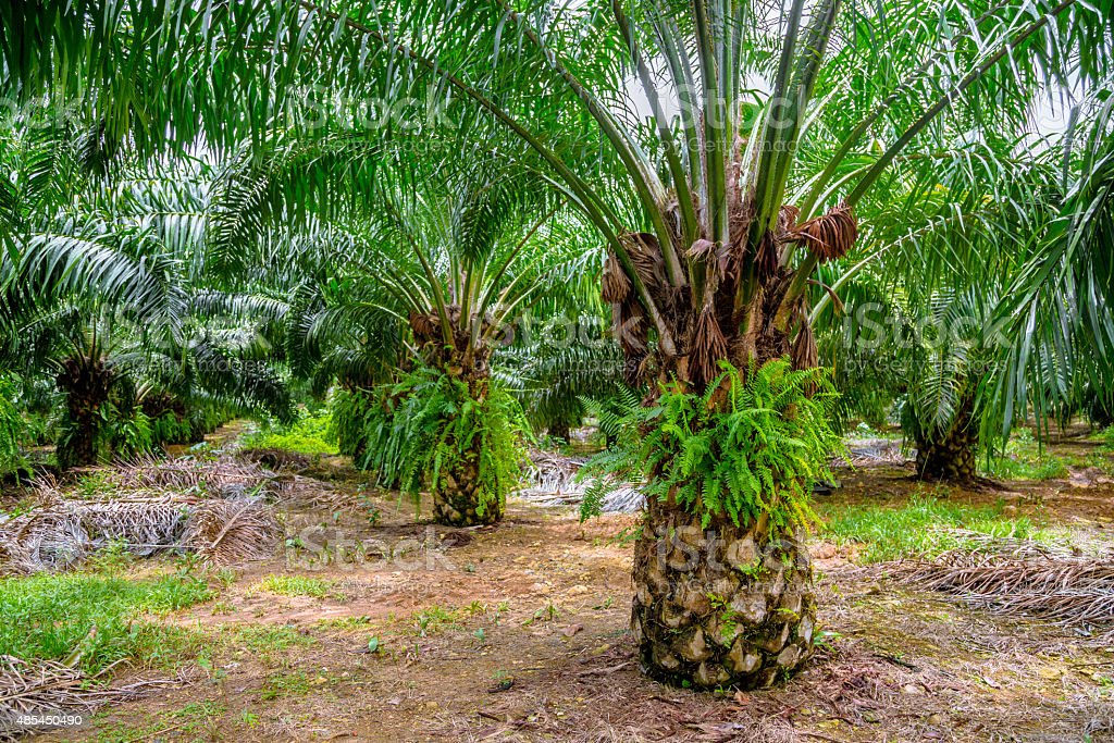 Palm Farm stock photo