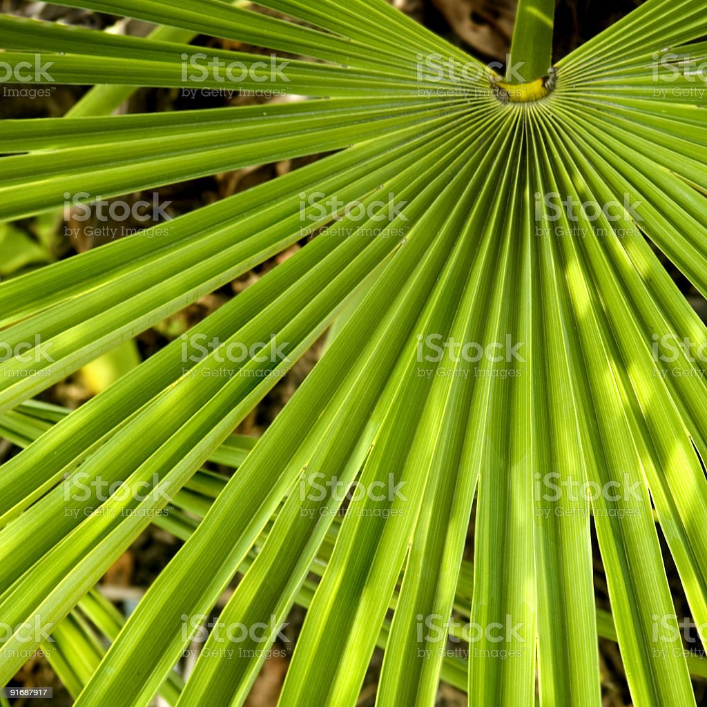 Palm Frond Background royalty-free stock photo