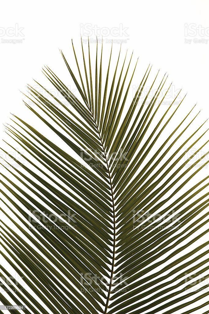 palm frond isolated on white royalty-free stock photo