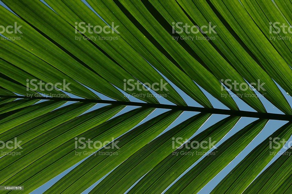 Palm fronda foto de stock libre de derechos