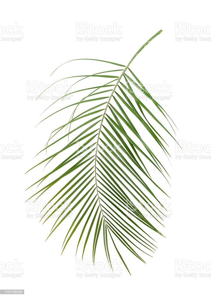 Palm Frond royalty-free stock photo