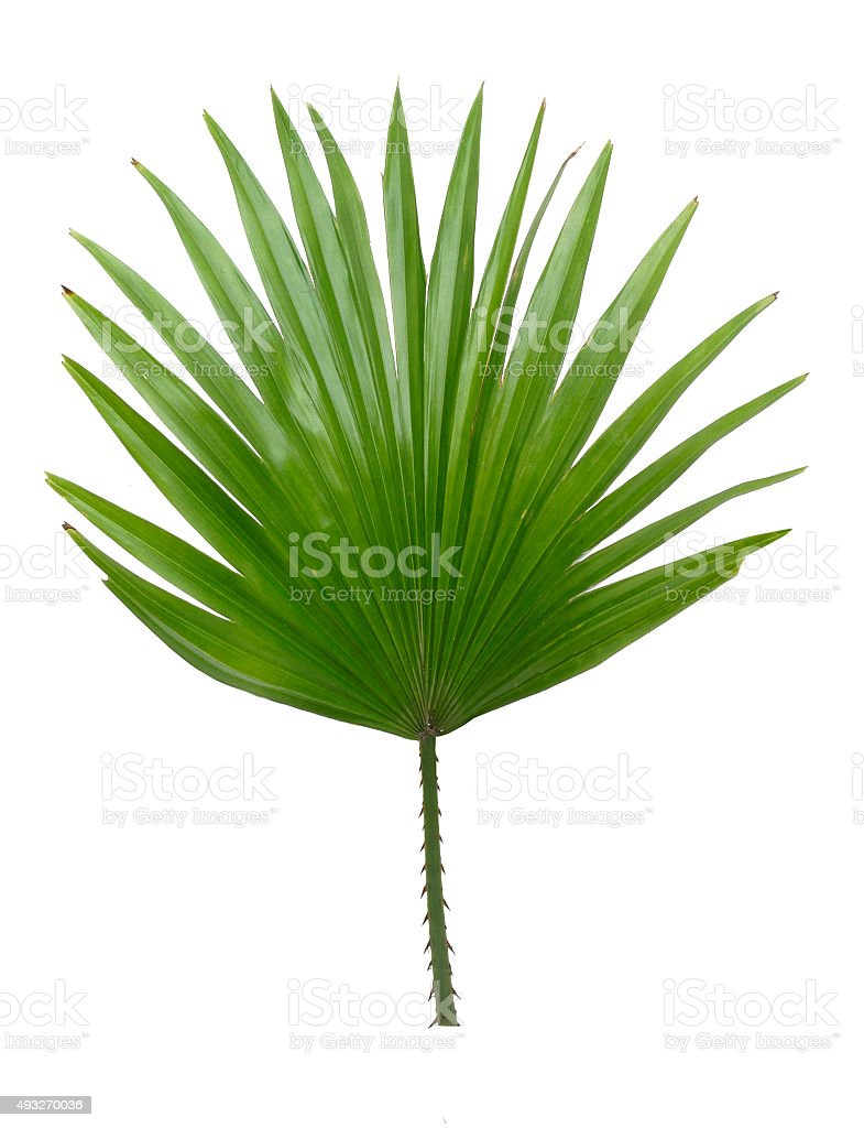 Palmwedel stock photo