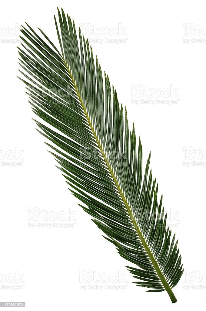 Palm Frond with Path royalty-free stock photo