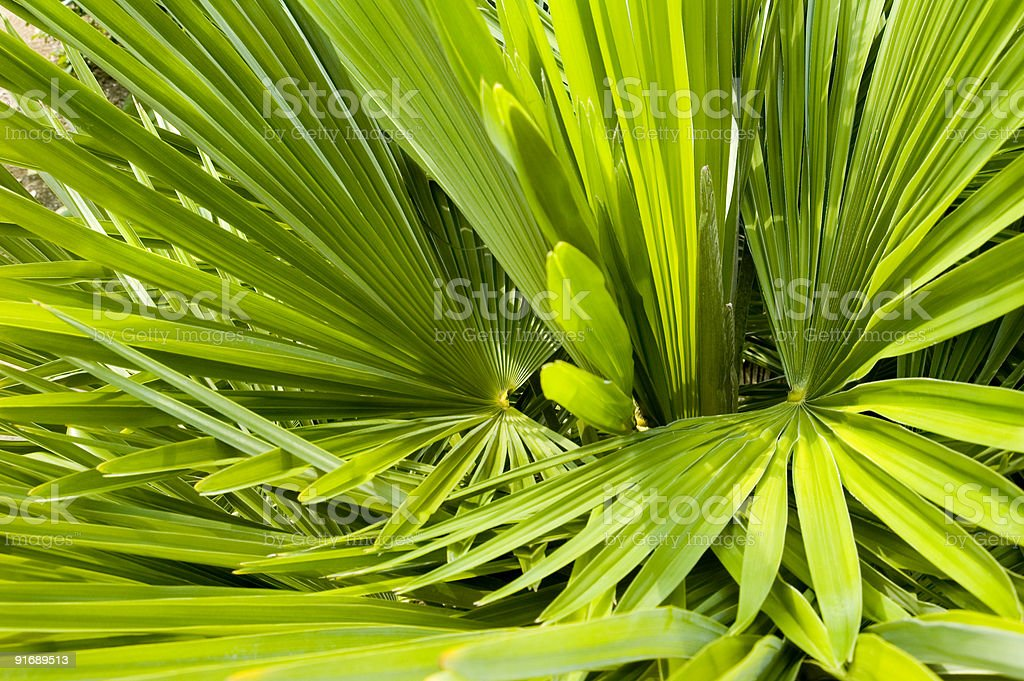 Palm fronds background texture royalty-free stock photo
