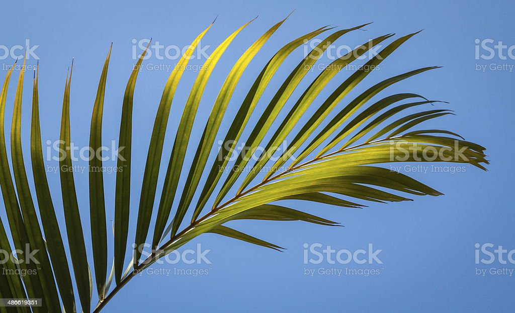 Palm Fronds royalty-free stock photo