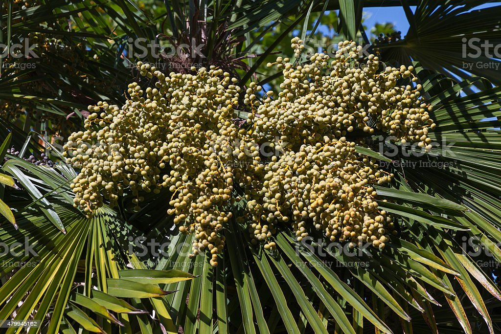 Palm Fruits - Frutos del Falso Palmito stock photo
