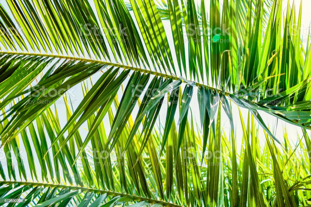 Palm green leaves in tropics, natural texture. Palm and sky stock photo