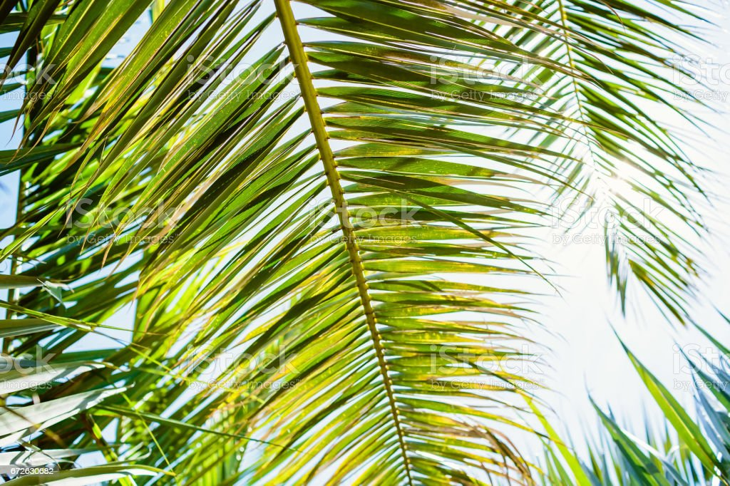 Palm green leaves in tropics, natural texture. Palm and sun stock photo