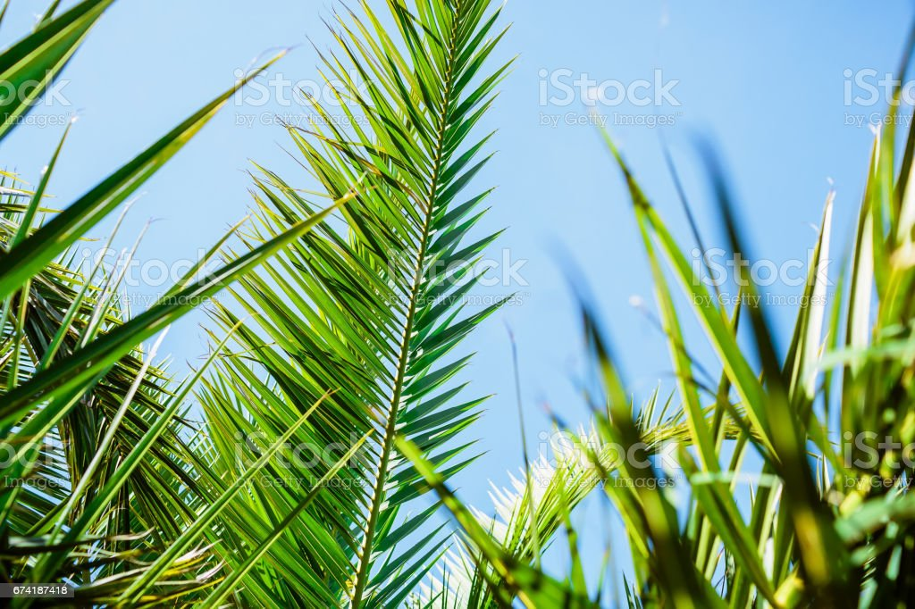 Palm green leaves in tropics, natural texture. Tropical palm and blue sky stock photo
