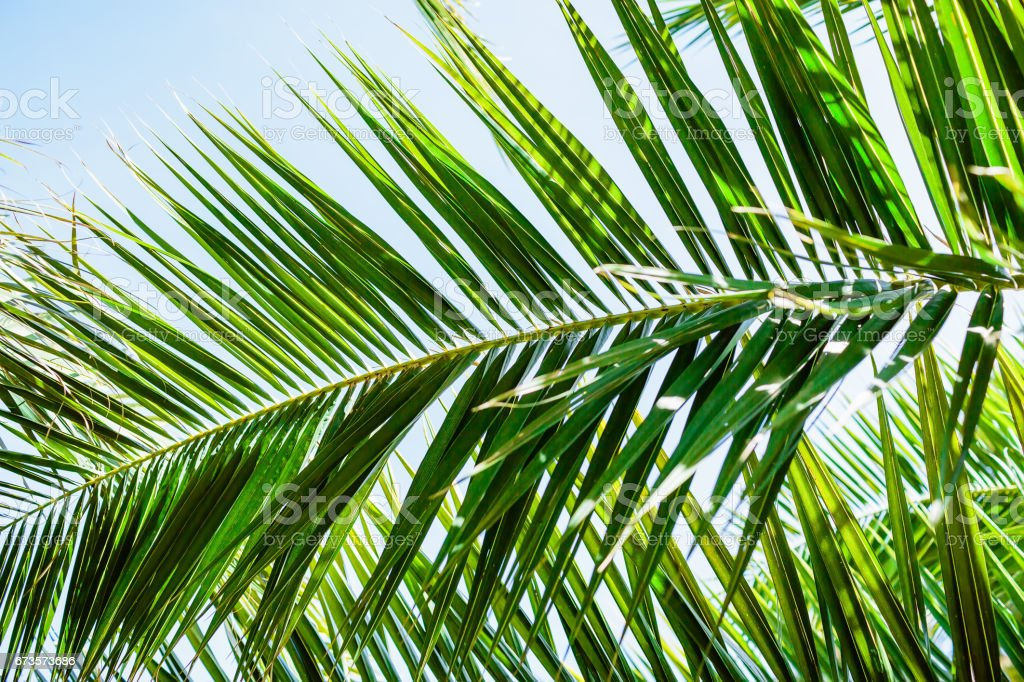 Palm green leaves in tropics, natural texture. Tropical palm and sky stock photo