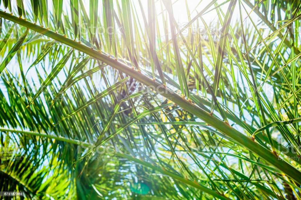 Palm green leaves in tropics, natural texture. Tropical palm and sunny sky stock photo