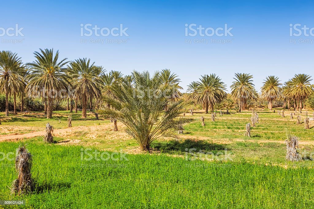 Palm grove in desert oasis Ksar Ghilane / Sahara / Tunisia stock photo